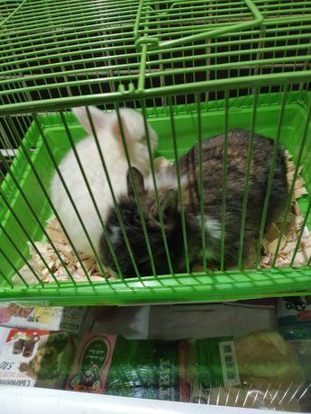 Кролики декоротивные Ускаман