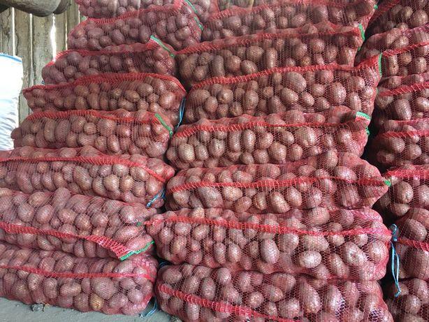 Cartofi Belaroza si Carera