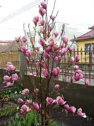 Vindem magnoli rosi la ghiveci la 1,50 m