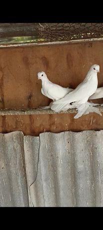 Продам голубей белых