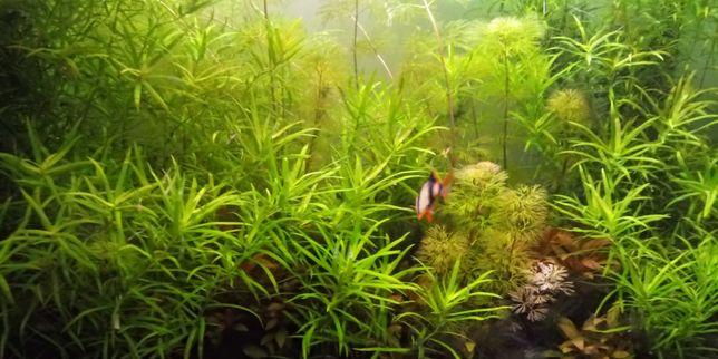 Planta acvariu Heteranthera Zosterifolia