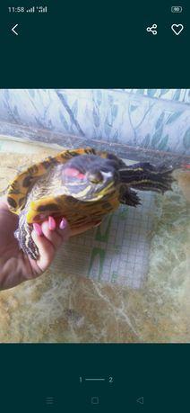 Продам водяную черепаху
