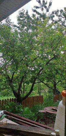 Curatari de pomi, taieri de regenerare, infiintari livada