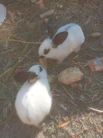 Продам строкач кролик 6 крольчиха