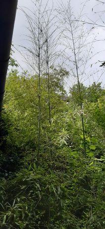 Bambus verde aclimatizat