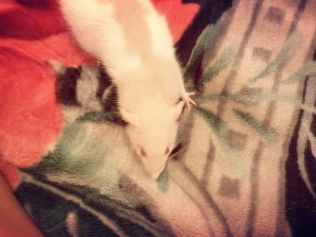 Отдам крысу 6 месяцев