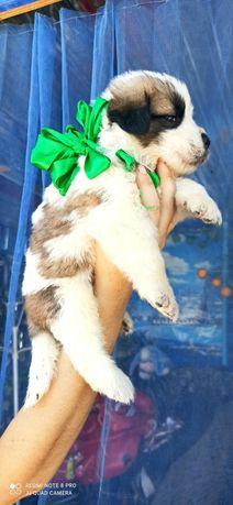 Продам щенков Московская Сторожевая с питомника Дары Востока
