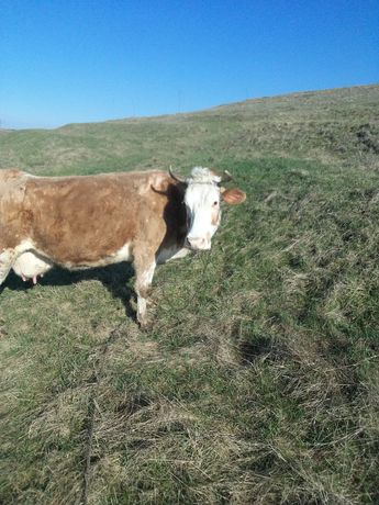 vand vaca baltata romaneasca 4 vitei
