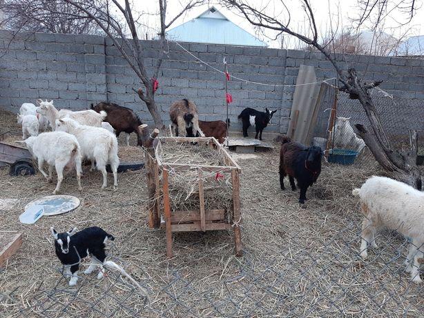 Ешкы Таза пародалы занен егіз лақтарымен ешкі Коза козлятами сатылады