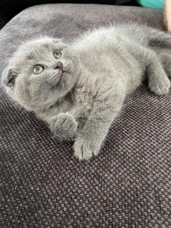 Шотландски клепоухи котета