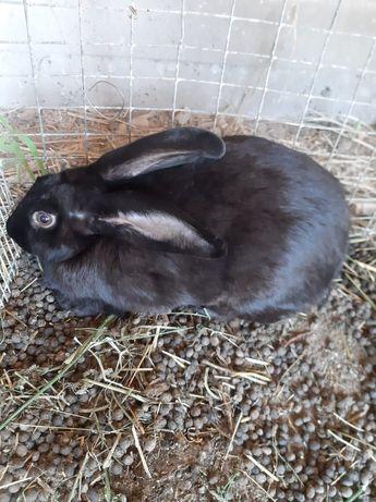 Зайец Кролик Коян Домашный