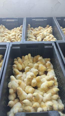 Кросы Арбор Айкрес. Бройлерные цыплята. Оптом и мелким оптом. Суточные