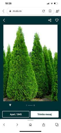 Vând o gama foarte mare de plante ornamentale preţ accesibil
