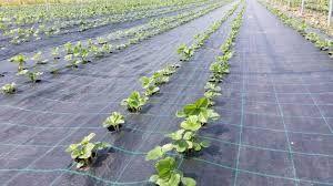 Folie AGROTEXTIL negru antiburuieni,100 gr/m2-import -mulcire