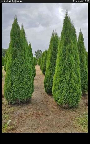 Vand plante ornamentale preț producator