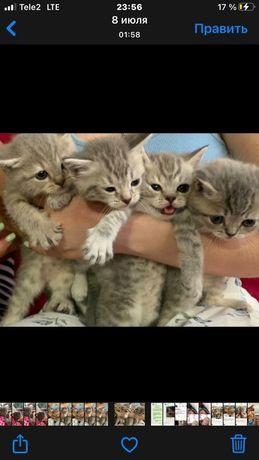 Котята британцы есть доставка