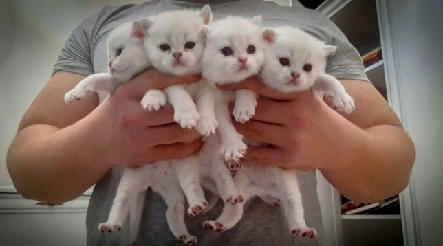 Британские Белоснежные котята