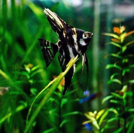 Рыбки скалярия мраморная