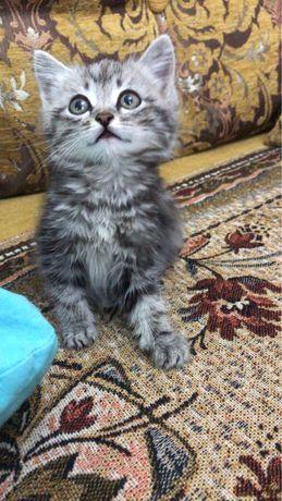 Скоттиш страйт котёнок