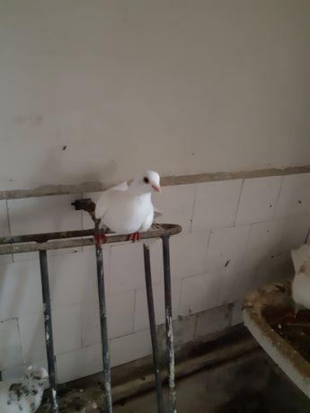 Porumbei jucători și zburători