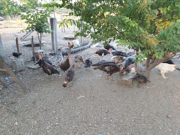 Curci,găște,pui de curcă,găini bibilici și rațe