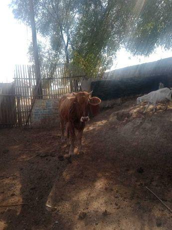 Продам теленка , 1,5 годовалый