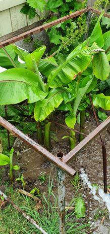 Vand pui palmier banan