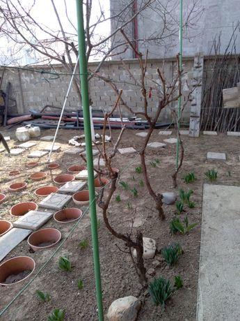 Specialist tăieri de pomi fructiferi, ornamentali, vita de vie, tranda