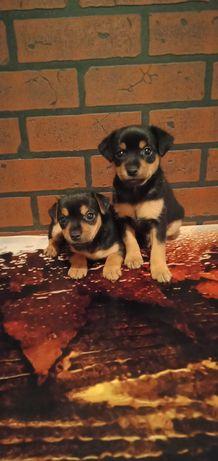 собачки на продажу КП