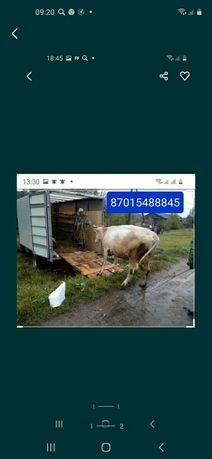 Скотовоз по городу и по району