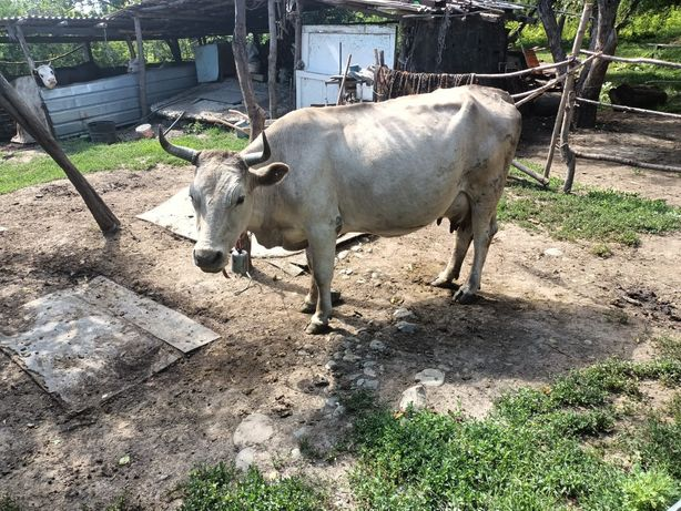 Срочно Продам корову, быка и телят / Сиыр, бұқа мен бұзауларды сатамын
