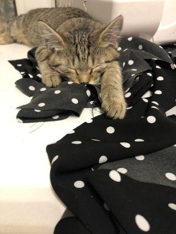 Котенок домашний (девочка)