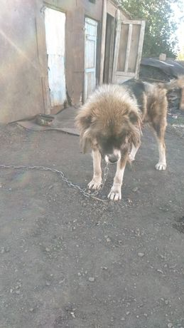 Продам щенят кавказца