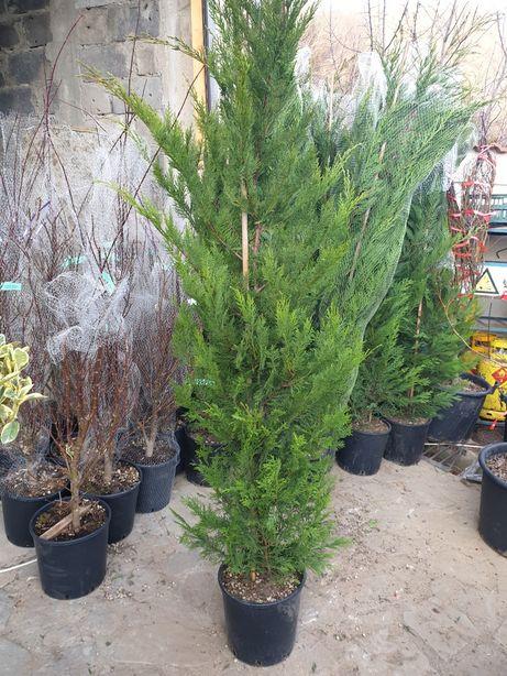 Plante Ornamentale diferite specialități tuia magnoli artar