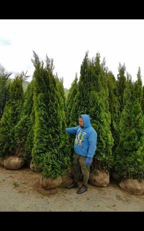 Vand o gama foarte mare de plante ornamentale prețnaccesibil