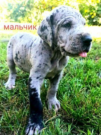 Шикарный щенок немецкого дога!