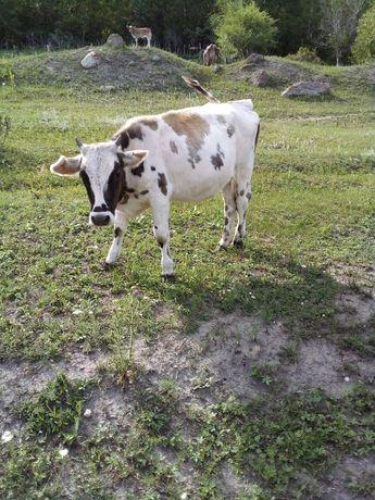 Корова бык скот корова