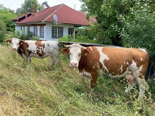 Vaci/Vitei Baltata Romaneasca de Maramaures - 4 bucati