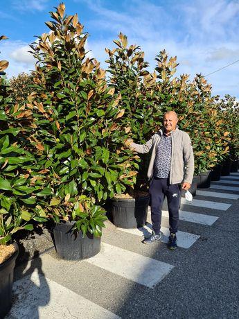 Vând magnolia grande flora pon pon spirale arțar palmieri