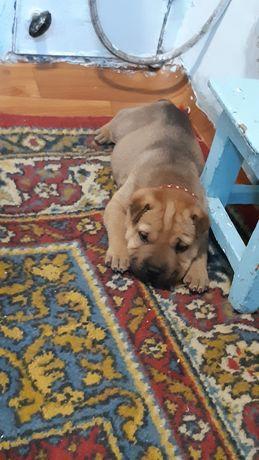 Продам щенка шарпея пол мальчик 1.5месяца