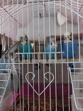 Papagali perusi pui