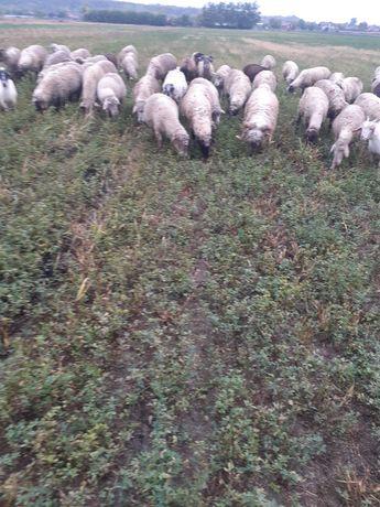 Vand 50 de oii si 6 berbecii și 20 de iezi de carne