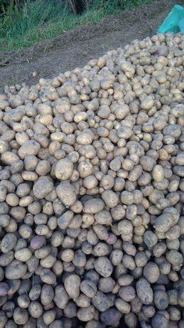 vand cartofi la pretul de 1 leu/kg