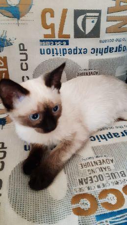 Сиамская кошка отдам в добрые руки
