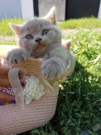 Продам котят порода Скоттиш страйт