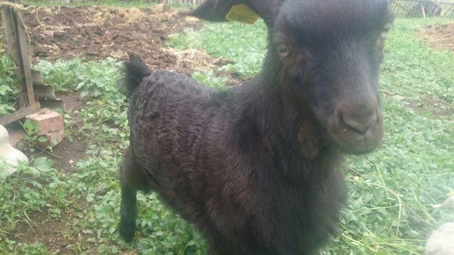 Продам козла альпийской породы