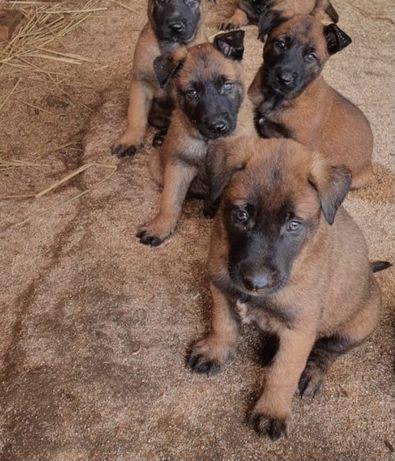 Продаётся щенки Белгинскии овчарка Малинуа 2 месяц