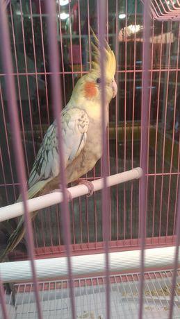 Кореллы попугаичики