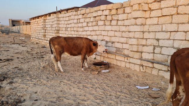 Сиыр сатылады корова
