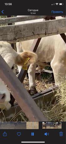 Коровы сиыр упитанные на откорме